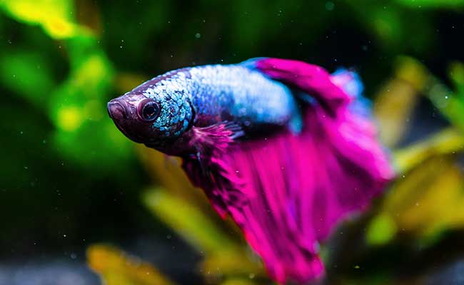 Do dying why keep my fish betta Why Did